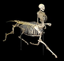 220px-Centaur_skeleton