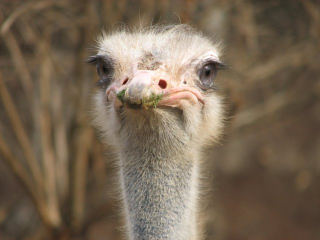 ostriches-do-not-stick-their-heads-in-the-sand-when-threatened-actually-they-dont-bury-their-heads-at-all-when-threatened-ostriches-flop-on-the-ground-and-play-dead
