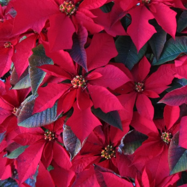 poinsettias-wont-kill-you-or-your-pets-though-you-still-shouldnt-eat-them-the-flowers-might-make-you-a-bit-sick-with-some-gastrointestinal-issues